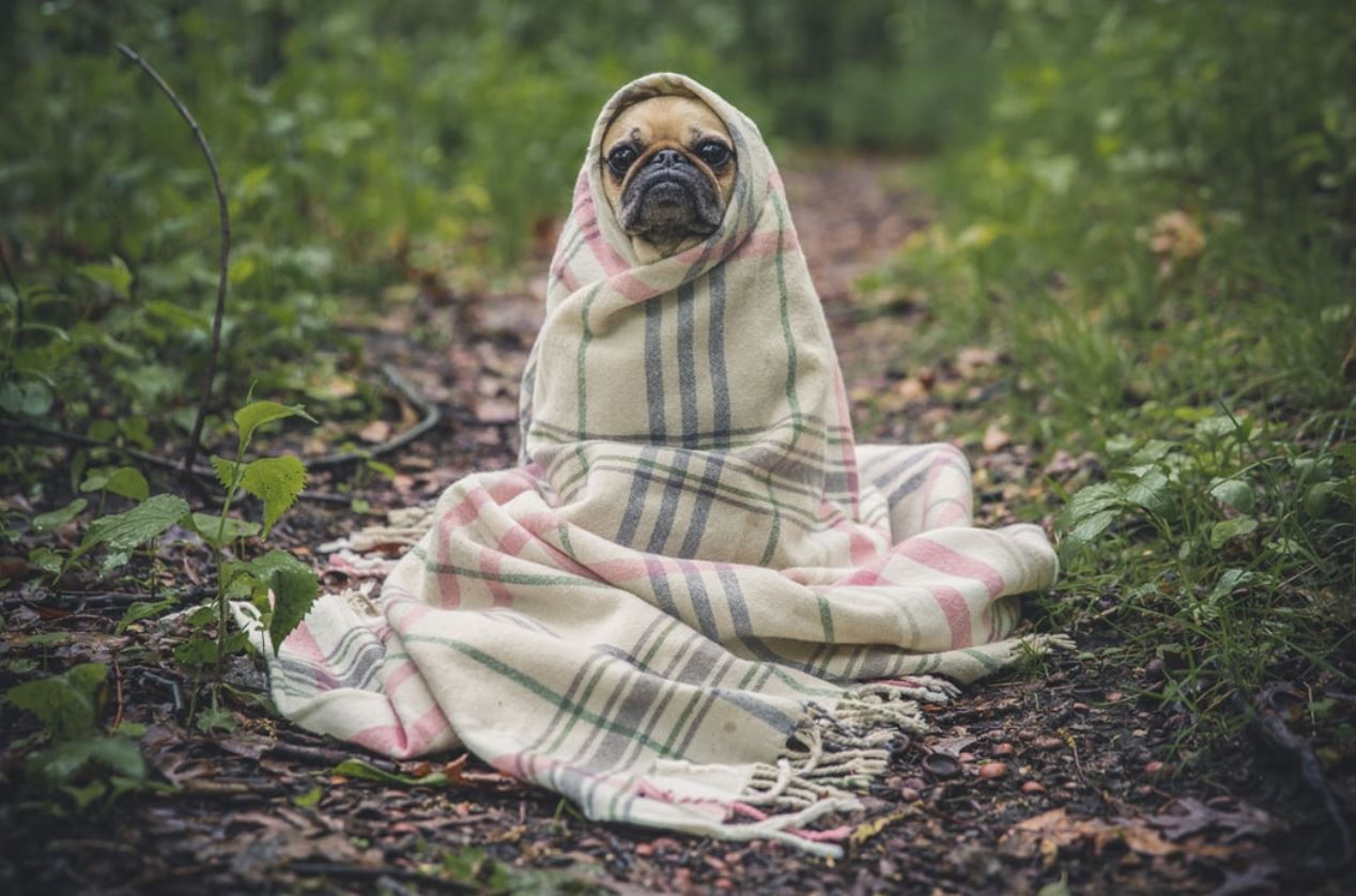 small dog in blanket sitting in garden